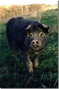 Porc_gascon_sabaillan